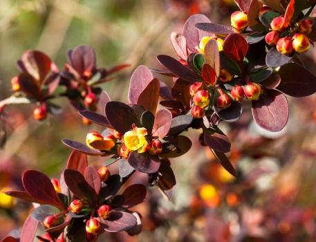 Berberis thunbergii atropurpurea blooming