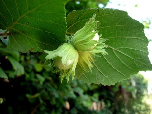 Corylus avellana fruit & foliage