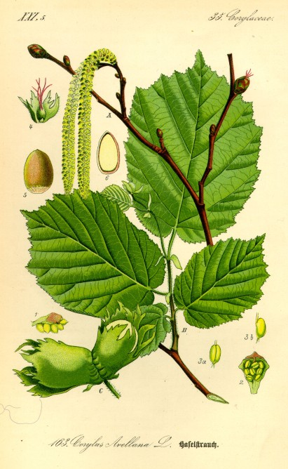 Corylus avellana botanical art