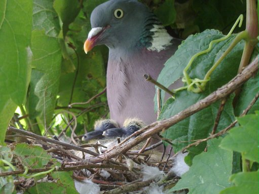 Wood pigeons (Columba palumbus) are just one species of wildlife that will enjoy the food Corylus avellana provides