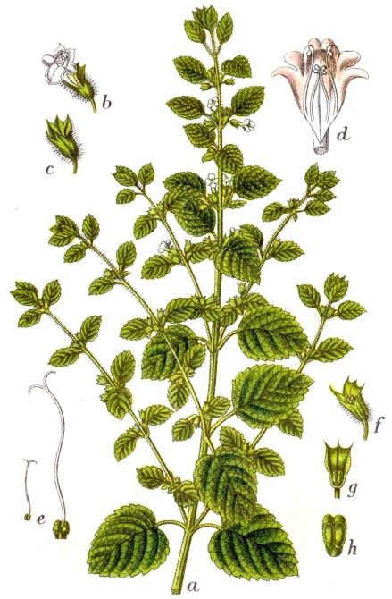 Melissa officinalis botanical art