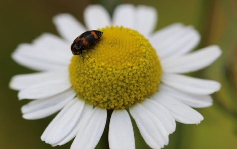 A beetle visiting Matricaria recutita