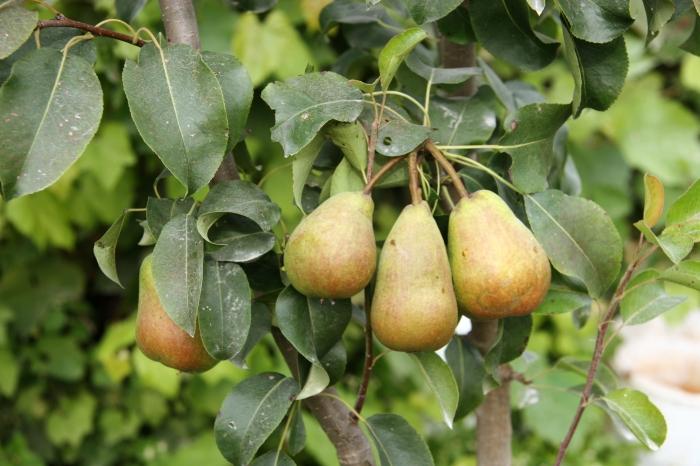 Pyrus communis (Pear)
