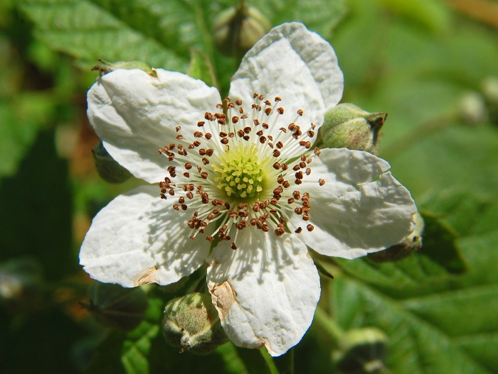 Rubus fruticosus (Blackberry) flower