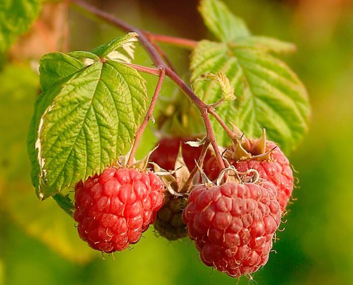 Rubus Idaeus (Raspberries)