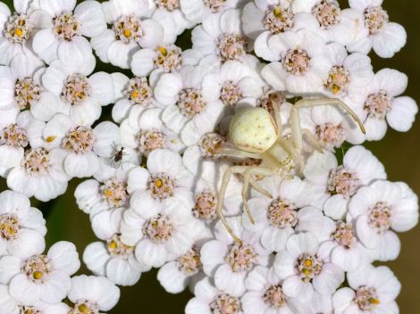 Crab spider (Misumena vatia) lying in wait for prey on Achillea millefolium