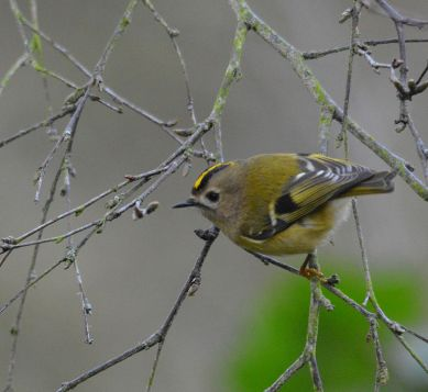 Goldcrest eating the buds of Betula pendula