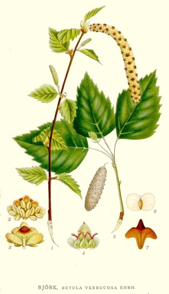Betula pendula botanical art