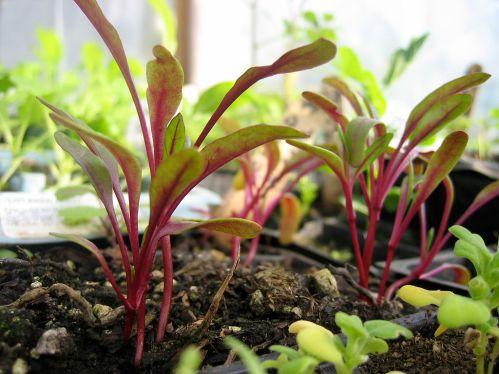 Beta vulgaris flavescens seedlings