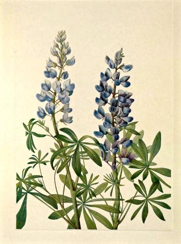 Lupinus botanical art