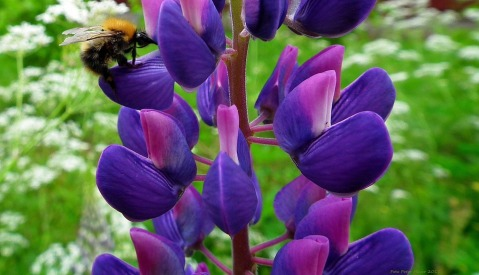 A hungry bumblebee visits the flower of a Lupine