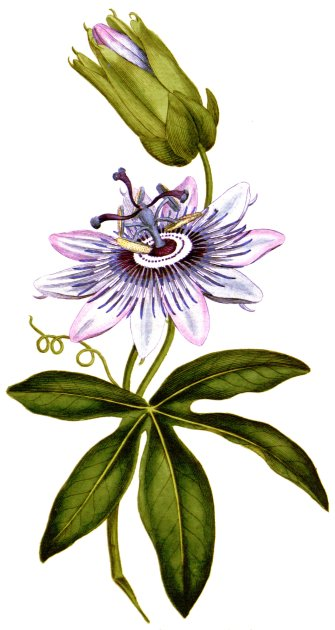 Passiflora caerulea botanical-illustration