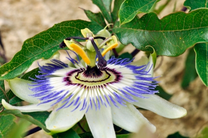 Passiflora caerulea in bloom