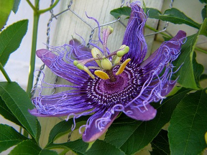 Passiflora incarnata in bloom