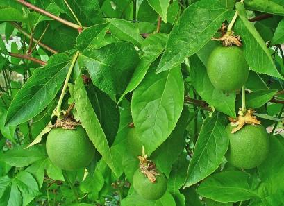 Passiflora incarnata bearing fruit