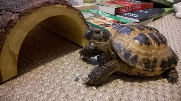 Odo Tortolla the rescue tortoise from Brinsley Animal Rescue