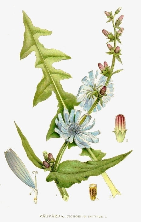 Botanical art illustrating the separate parts of Cichorium intybus