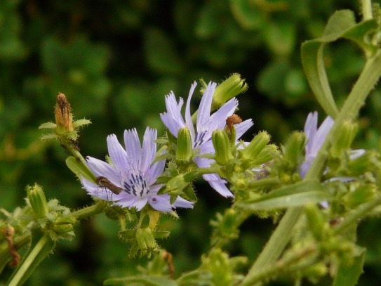 Provided you have the right spot, chicory is an invaluable addition to any garden