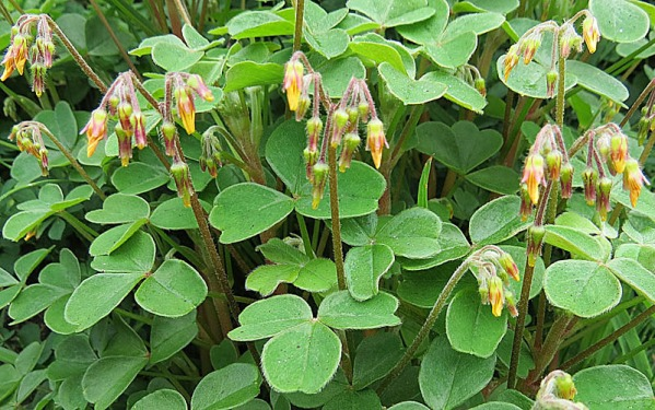 Even the flower buds of Oxalis tuberosa have their attractive qualities