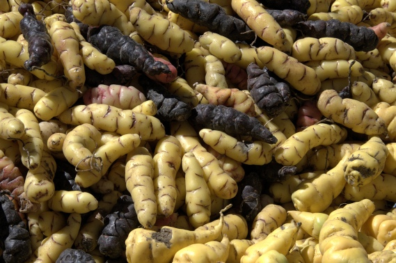 A selection of Oxalis tuberosa tubers in different colours