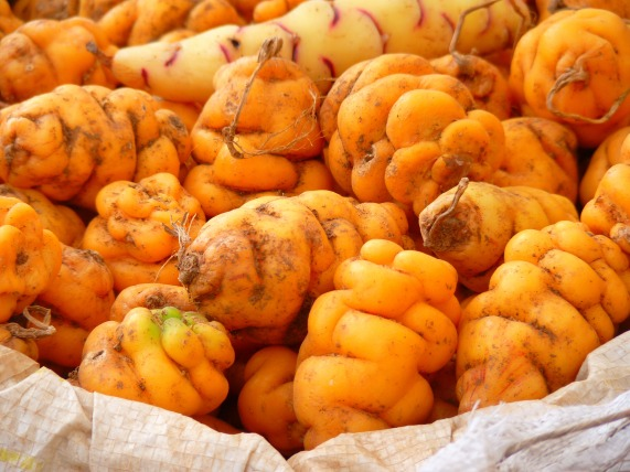 The tubers of Oxalis tuberosa can grow in a variety of colours, here is a beautiful orange variety