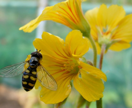 Hoverflies often feed from the bright yellow flowers of Oxalis tuberosa