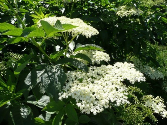 If the scent of Sambucus nigra doesn't attract you, the pretty white flowers will