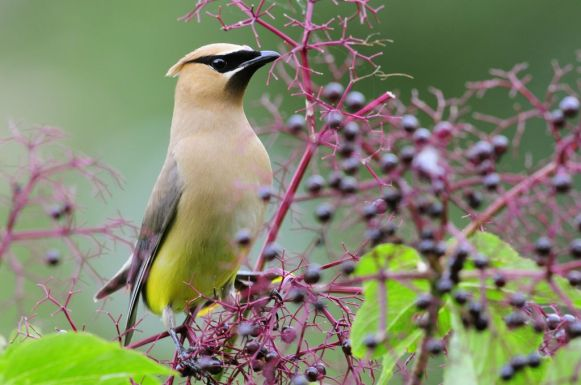 This Cedar Waxwing has certainly been enjoying the fruit Sambucus nigra provides