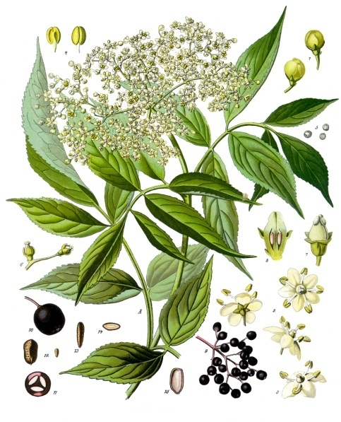 Botanical art of Sambucus nigra detailing the separate parts of the plant