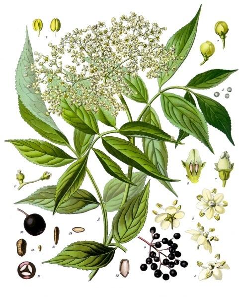 Botanical art of Sambucus nigra detailing the separate parts of the plant