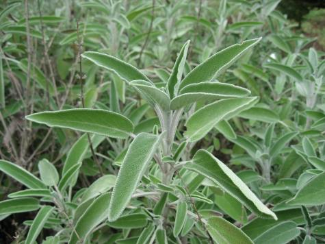 Salvia officinalis aromatic foliage