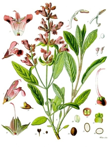 Salvia officinalis botanical art