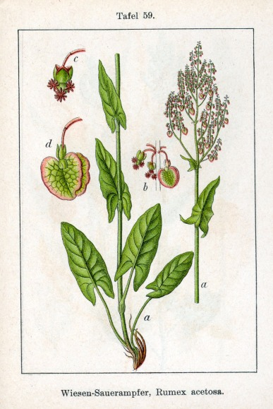 Botanical print detailing the separate parts of Rumex acetosa