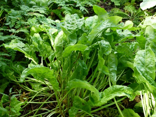 Be sure to harvest your sorrel regularly to get the most out of it's bounty