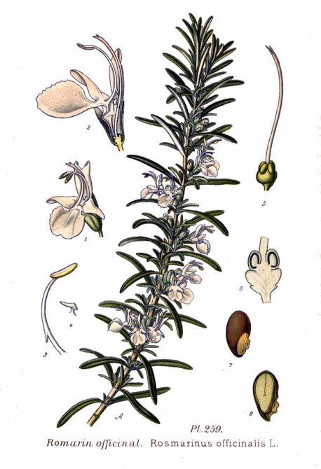 Botanical print depicting the details of Rosmarinus officinalis