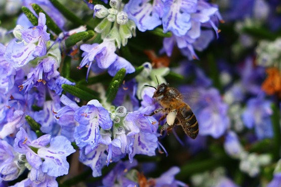 Rosemary flowers are a rich source of pollen for our valuable pollinators