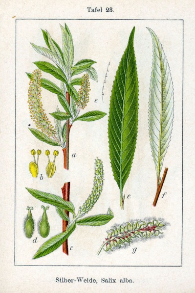 Botanical art illustrating the separate parts of Salix alba