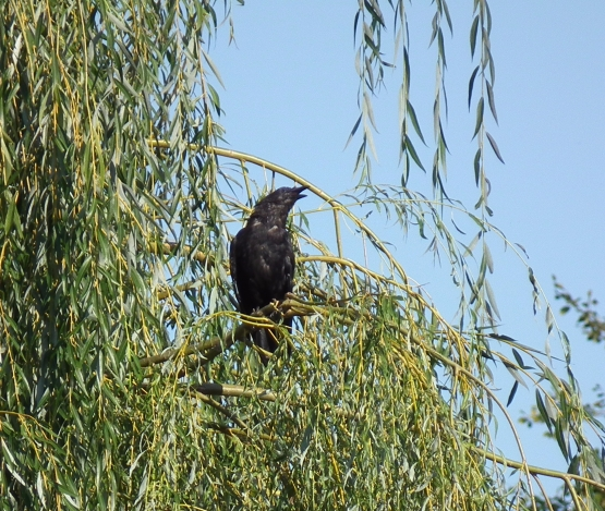 A member of the crow family enjoys a perch in Salix babylonica