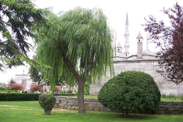 If well maintained you can enjoy a weeping willow in even a small garden, just be sure to keep it's growth in check as they do grow rather large