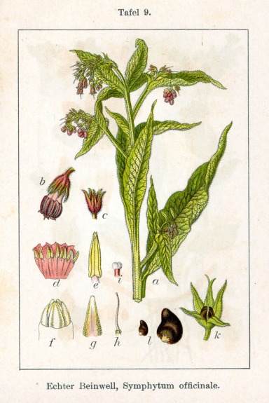 Botanical art depicting the separate parts of Symphytum officinale