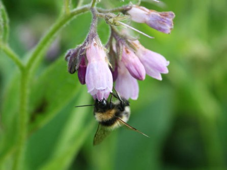 Bumblebees make great use of the pollen and nectar that comfrey provides