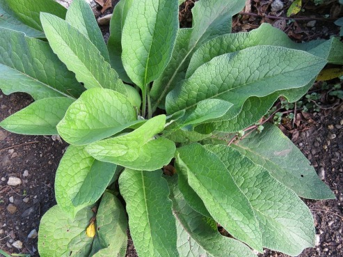 The large, hairy leaves of comfrey make it a fairly easy plant to identify when harvesting