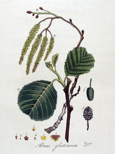 Beautiful botanical artwork illustrating the intricate details of Alnus glutinosa