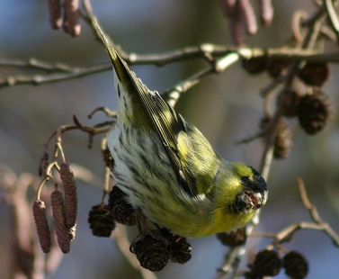 This siskin is certainly making themselves at home on this Alnus glutinosa.
