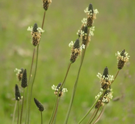 The distinct flower heads of Plantago lanceolata