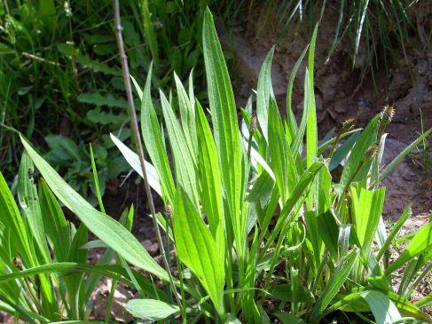 Plantago lanceolata foliage, ripe for harvest