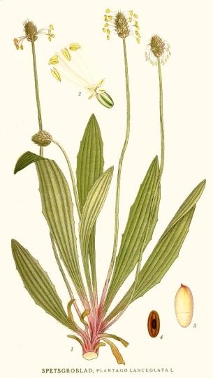 Botanical illustration detailing the separate parts of Plantago lanceolata