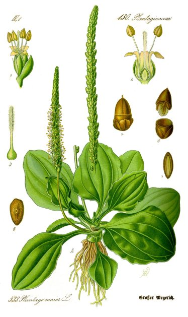 Botanical illustration detailing the separate parts of Plantago major