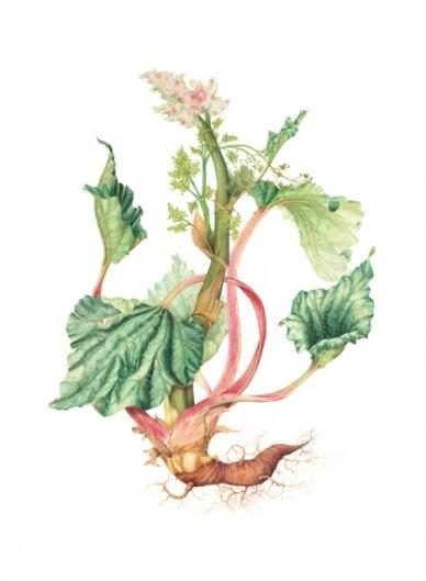 Botanical illustration of Rheum rhabarbarum by Hillary Parker