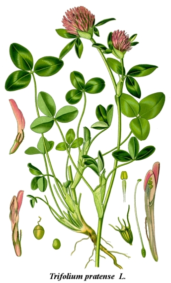 Botanical illustration showing the delicate details of Trifolium pratense